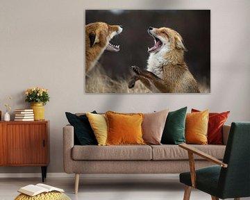 vechtende vossen in de Amsterdamse Waterleidingduinen