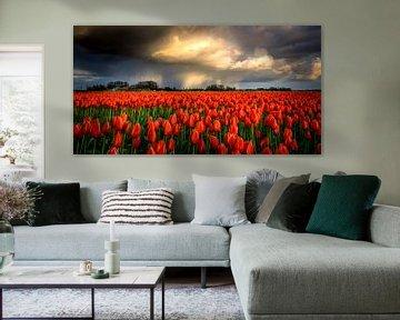 Regenbui boven rode tulpen