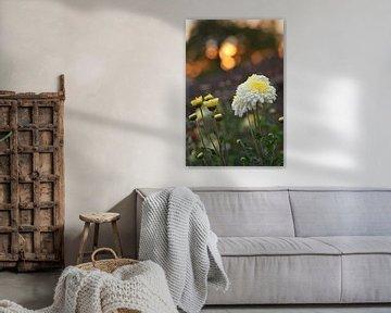 Chrysanthemen im Abendlicht von zwergl 0611