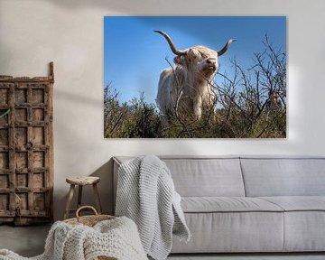 Schotse hooglander van DuFrank Images