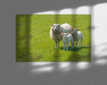 Moeder schaap met twee lammetjes