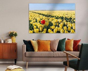 Opvallend rode tulp in een geel tulpenveld