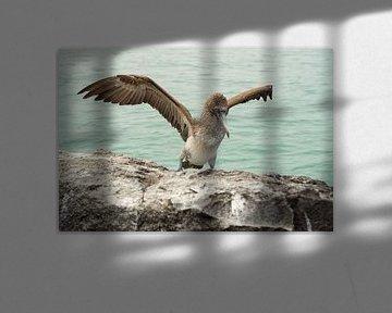 Blauwvoetgent op de Galápagoseilanden von Sandra van der Ende