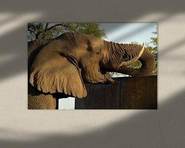 Close up drinkende Afrikaanse olifant, Kruger park, Zuid Afrika von Vera Boels