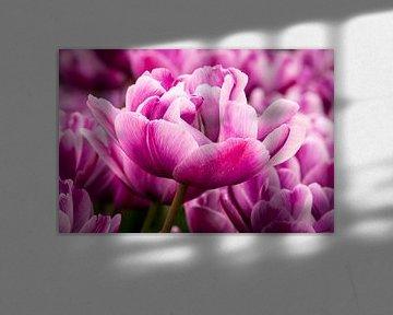 Close-up van een roze tulp von Nannie van der Wal