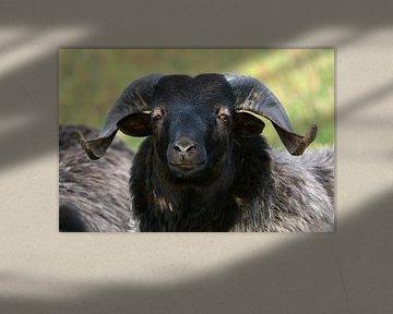 De Baas (een schaap) van Gisela Scheffbuch
