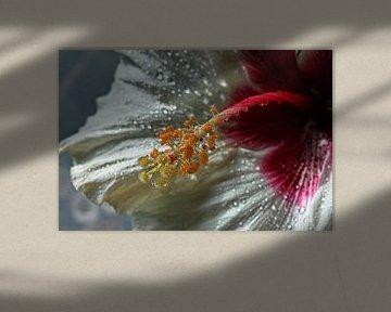 Funkelnde Tropfen - Hibiskusblüte von Christine Nöhmeier