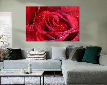 Rote Rosen soll es regnen von zwergl 0611