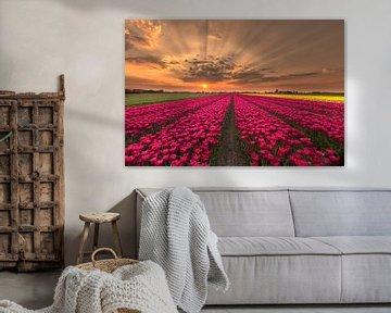 Amazing tulips sunset