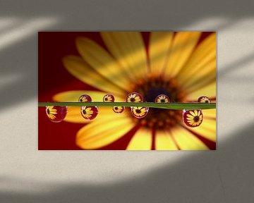 Gelbe Schönheit, Gelb Daisy in Wassertropfen  von Inge van den Brande