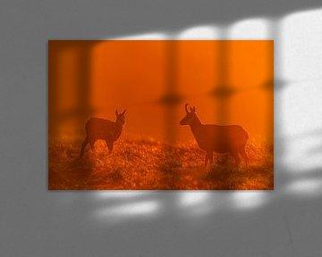 Gemzen tijdens zonsopkomst von Stijn Smits