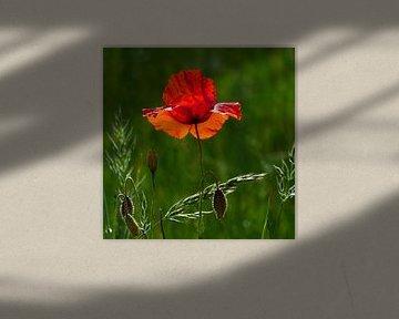 Rote Mohnblume von Ralf Schroeer