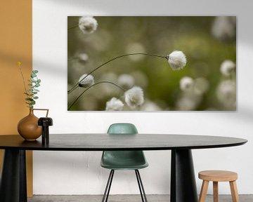 Schmalblättriges Wollgras in verträumte Atmosphäre von Peter Grobbee