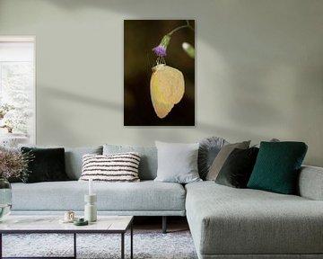 Vlinder (Eurema brigitta) op een bloem van Jaco Visser