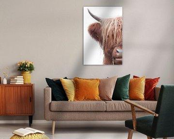 Een halve Schotse hooglander bruine koe lange haren met een witte achtergrond en mooi lang haar van R Alleman