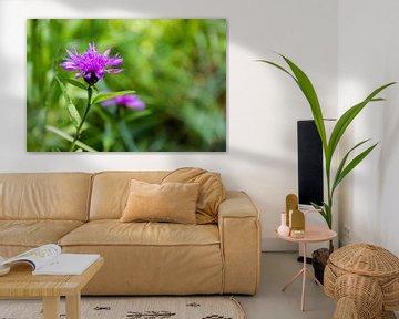 Centaurea pratensis