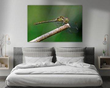Heide libelle op tak