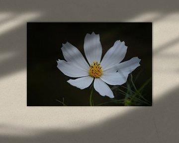 Margriet bloem van Eva Toes