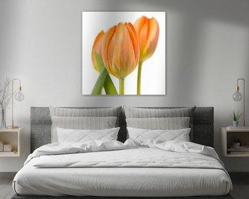 Drie oranje tulpen tegen een witte achtergrond van Jenco van Zalk