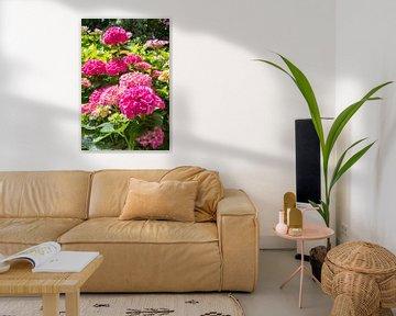 pink hydrangea in garden