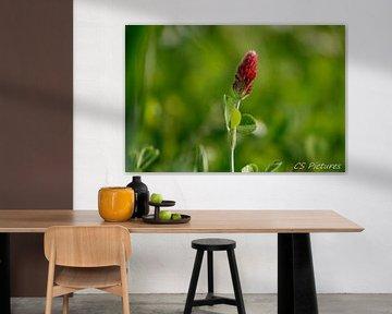 Klee Trifolium incarnatum von Christina Sudbrock