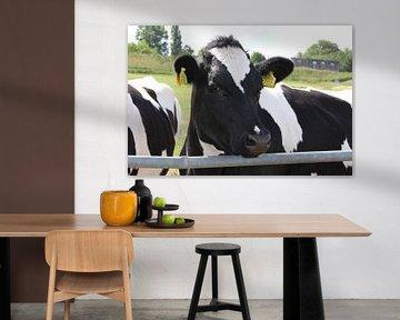 Koe, rund in de natuur.