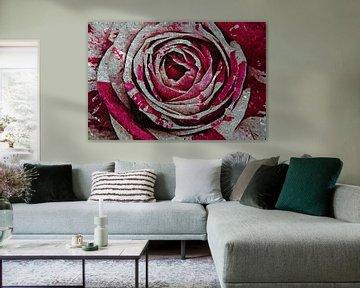 Rose rot weiß von zwergl 0611