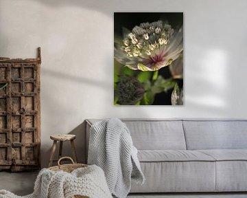Close-up bloem Zeeuws Knoopje (Astrantia) von JB Art