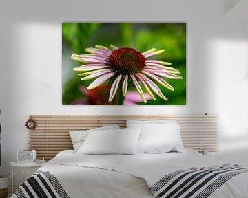 Zonnehoedje - Enchinacea Purpurea