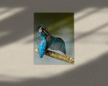 Poetsende ijsvogel vleugel van Eelke Cooiman
