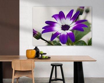 Senetti 'Violet Bicolor' von Tamara Witjes