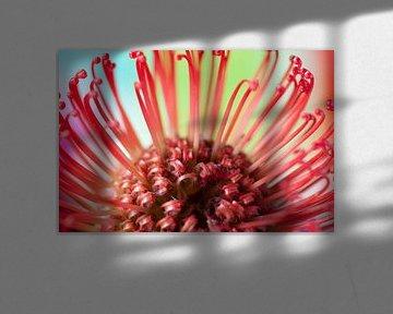 Nutan (Leucospermum nutans) van Tamara Witjes
