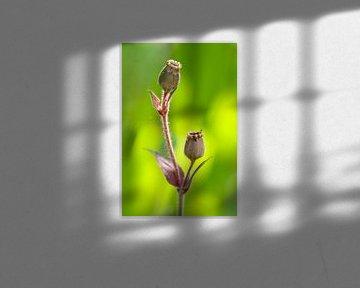 Campion seed capsules (Lychnis) von Tamara Witjes