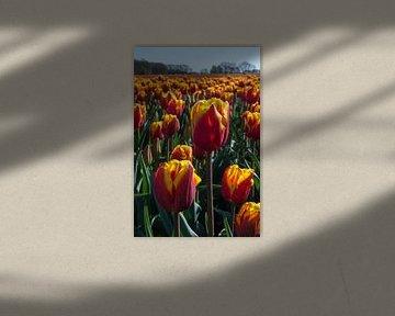Feld mit roten und gelben Tulpen. von Adri Vollenhouw