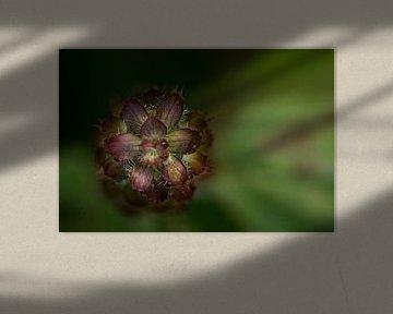 zaad, bloem von Carolina D'Andrea