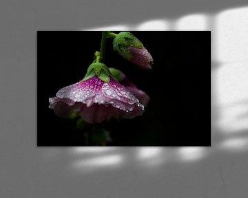 Stokroos in de de regen van Eveline Eijlander