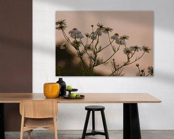 Kamille im Abendrot von Fotografie Sybrandy