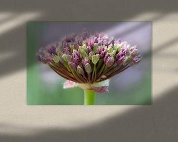 Sierui (Allium) van Tamara Witjes