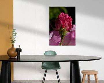 Dunkle rosa Rose von Jeffry Clemens