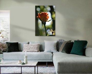 Lachsfarbene Rose von Jeffry Clemens