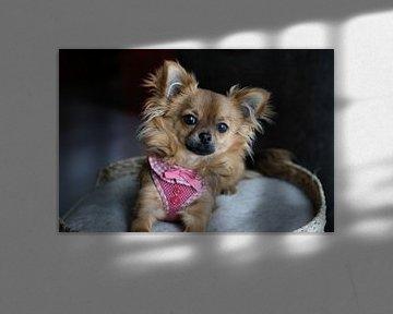 Chihuahua pup ligt in een mandje sur Arline Photography