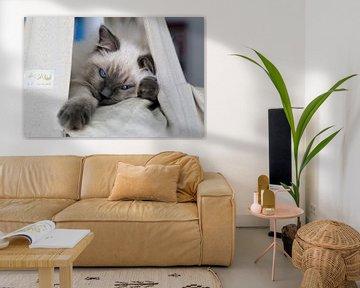 Blue colourpoint Ragdoll kitten met blauwe ogen von Arline Photography