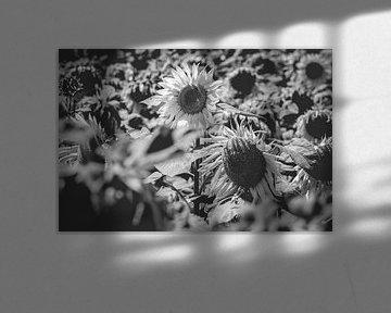 Zonnebloemenveld in zwart wit van Fotografiecor .nl