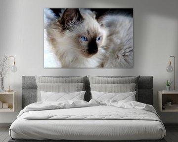Ragdoll kitten met blauwe ogen von Arline Photography