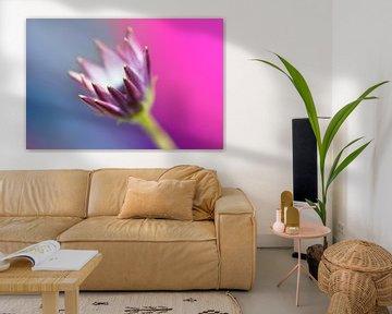 Spaanse margriet (Osteospermum ecklonis) van Tamara Witjes