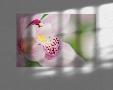 Pink orchid (Orchidaceae) von Tamara Witjes