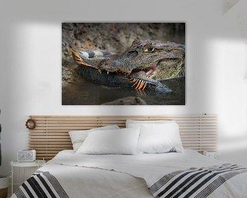 Kaaiman met gevangen leguaan - Cano Negro, Costa Rica van Martijn Smeets