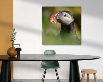 Papegaaiduiker portret