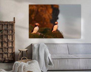 Papegaaiduikers in avondlicht