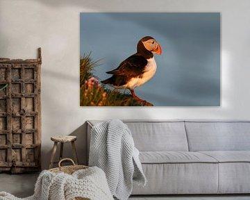 Papegaaiduiker in avondlicht